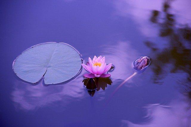 květ lotusu