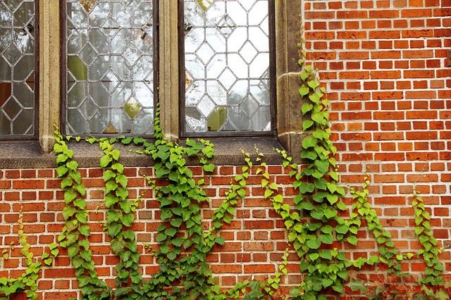 břečťan pod okny
